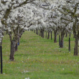 Arbres fruitiers, pruniers